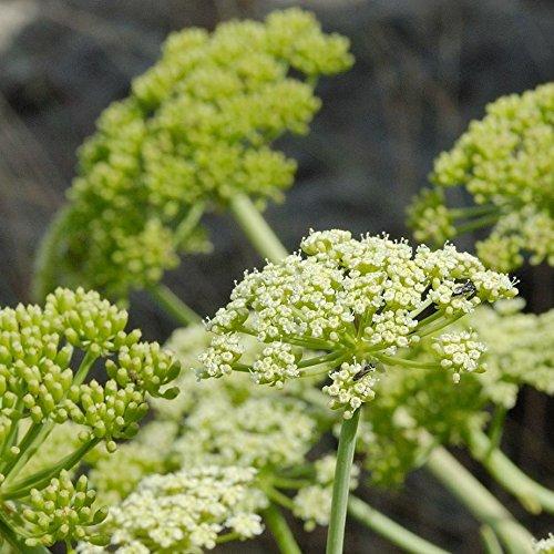 Samphire Seeds (Crithmum maritimum) 10+