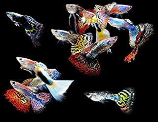 WorldwideTropicals Live Freshwater Aquarium Fish - (5) 5-Pack of Mixed Color Male Guppies - 5 of Mixed Color Male Guppies - by Live Tropical Fish - Great For Aquariums - Populate Your Fish Tank!