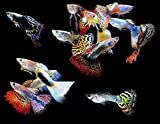 WorldwideTropicals Live Freshwater Aquarium Fish - (5) 5-Pack of Mixed...