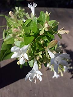 (1 Gallon) ABELIA 'ROSE CREEK', Astounding, DWARF, Foliage in Spring Emerges Delightfully Pinkish, Turns to a Vibrant green. Compact Evergreen with Very Impressive Burgandy to Green Leaves, Compact and Dense Shrub, Small, White Flowers with a Long Blooming Season