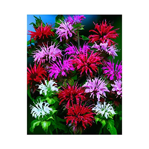 Park Seed Panorama Mix Bee Balm Seeds, Includes 100 Seeds in a Pack