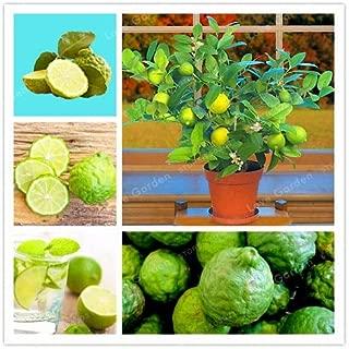 WANCHEN Key Lime Bonsai, Delicious Potted Organic Fruit Plant,(Citrus Aurantifolia), Fruit Lemon Tree for Home Garden -30Pcs/Bag
