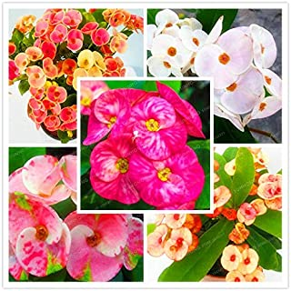 WANCHEN 100 Pcs Cactus Euphorbia Milii Seeds New Rare Flower Plants For Home Garden Very Easy Grow Home Bonsai