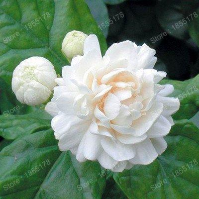 promotion Belle graine de fleur de jasmin chinois véritable fleur de thé blanc rare plante odorante en bonsaï bricolage jardin 20pcs / sac