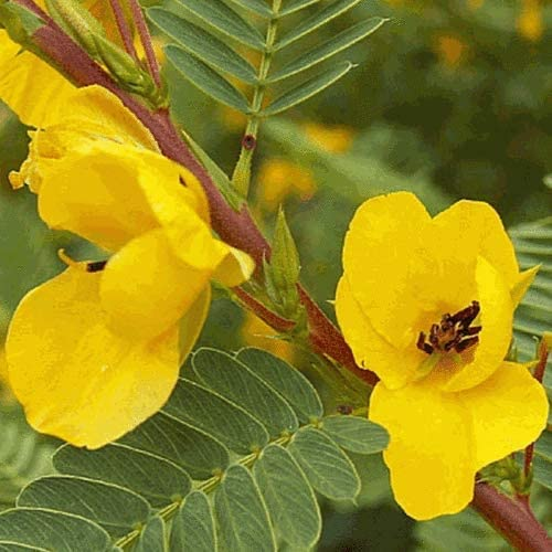 Louisville-Jefferson County Mall 300 favorite Partridge Pea Wildflower Seeds