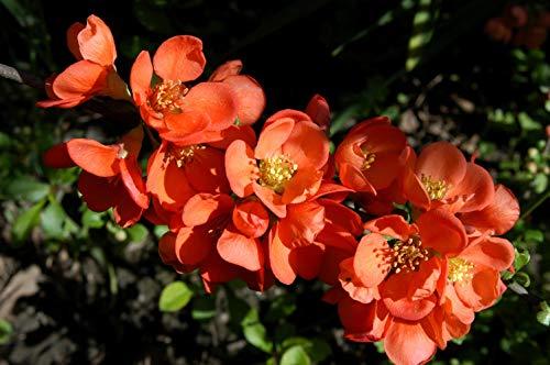 Zierquitte 'Cido' -R- Chaenomeles japonica im Topf gewachsen ca. 40-60cm