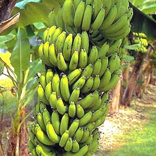 Gartensamen SummerRio- Winterharte Banane Baum Samen exotische Bananenpflanze Obst Saatgut Fruchtsamen mehrjährig winterhart ertragreich für Garten