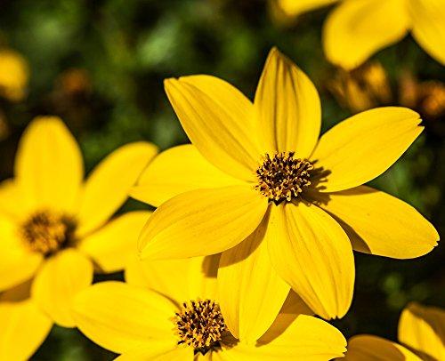 Semillas de Bur Marigold - Bidens aurea