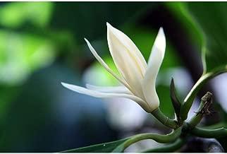Michelia Alba/Magnolia Champaca Live Plant 5-6 Feet Height in 5 Gallon Pot #BS1