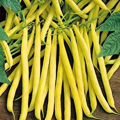 swiftt 100pcs Bio Buschbohne Stangenbohne Samen Berggold Saatgut Gemüsesamen winterhart mehrjährig für Garten Balkon/Terrasse