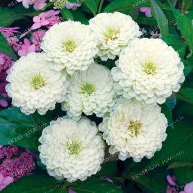 100PCS Zinnia Graines rares Variété chaleur Tolerant Jardin Fleur Plantes à fleurs en pot Charme chinoise Fleurs Graines culture facile 16