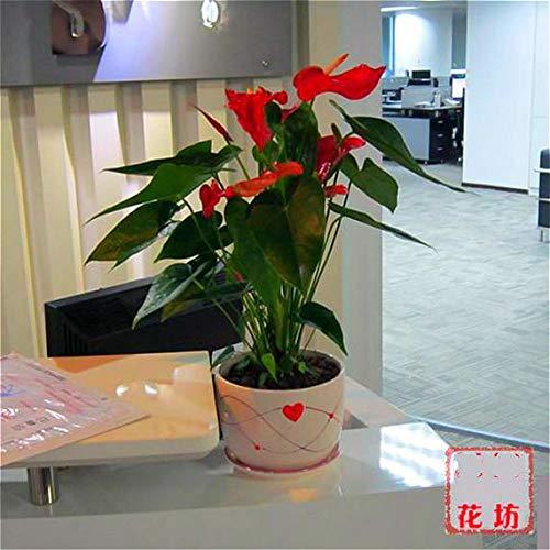 Shopmeeko 200 stücke Seltene Rosa * Grün Anthurium bonsai Bonsai Blume bonsai Balkon Pflanzen Blumen Töpfe Für Gartenhaus Spathiphyllum Semilla: Orange