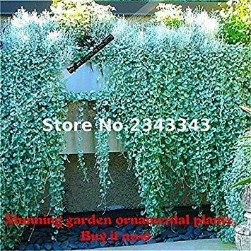 Fash Lady 200 Pcs/Sac Dichondra Repens Graine De Gazon Argent Herbe Graines Jardin Des Plantes Bonsaï Pot De Fleur Pour La Maison Jardin Sementes Vert