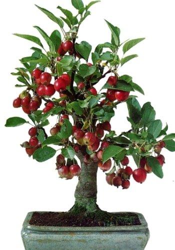 TROPICA - Manzano silvestre de Siberia (Malus baccata var. mandshurica) - 35 semillas- Bonsai