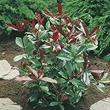 Photinia 'Red Robin' 2.5L