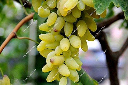 Bonsai Finger de pépins de raisin délicieux pot organique plante pour les plantes ornementales Maison et jardin Can comestible sain Fruit semences 60 Pcs 7