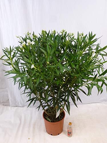 [Palmenlager] - XXL Oleander 140 cm -Busch - Nerium oleander - mediterrane Pflanze (Weiß)