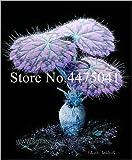Bloom Green Co. 120 piezas de geranio, bonsái, arco iris, pelargonio, peltatum, bonsái, habitaciones interiores perennes, flor en maceta del bonsái, elegante color de mezcla: 7