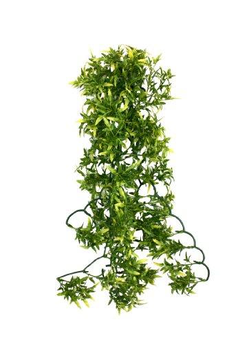 Komodo Croton Plant, 60 cm