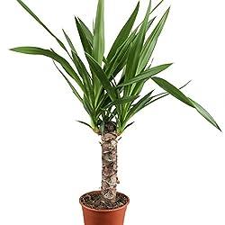 yucca palme ratgeber infos zu pflege und kauf tipps. Black Bedroom Furniture Sets. Home Design Ideas