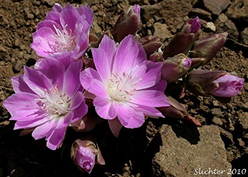 25 lewisia rediviva (rose pink ) Great for growing containers