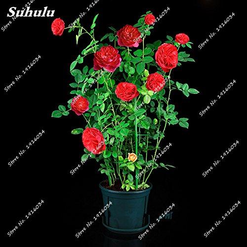 Couleur Graine Rose Bonsai importation d'Afrique Rosas Fleurs vivaces multi intérieur semences jardin Blooming plantes croissance naturelle 50PCS 4