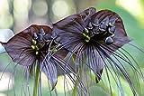 Schwarze Fledermausblume, 5 Samen Tacca chantrieri