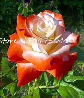 CUSHY Seeds:150 Pcs/Bag Bonsai Rainbow Rose Bonsai Easy Care Rose Plant with Red Edge Lady Most Favorite Love Flowers Plants : 18