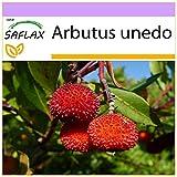 SAFLAX - Erdbeerbaum - 50 Samen - Arbutus unedo
