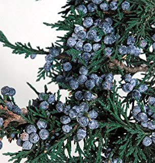 Wayhome Fair Preserved Juniper Branch with Berries 10in - Excellent Home Decor - Indoor & Outdoor