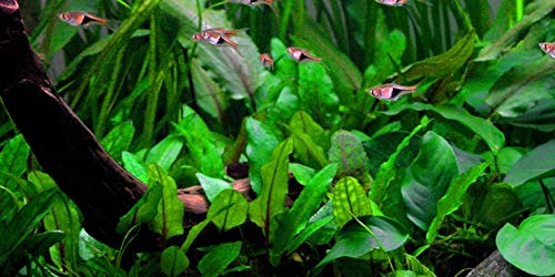 1pot de cryptocoryne wendtii vert, plantes aquatiques