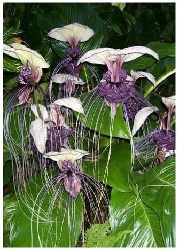 TROPICA - Fleur chauve-souris blanche (Tacca integrifolia) - 10 graines- Magie tropicale