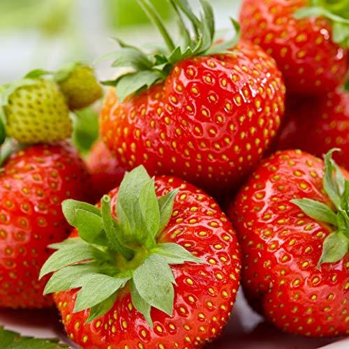 20st Fragaria x Ananassa SONTANA - Erdbeere mehrjährig - Erdbeeren Pflanzen wurzelnackt - Pflanzen für Balkon und Garten