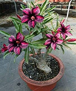 Seed - NOT Plant - Best Quality - Bonsai - PCS Rare Brown Black Desert Rose Bonsai Balcony Bonsai Ornamental Flowers Adenium obesum Bonsai Absorption of Formaldehyde - by SeedWorld - 1 PCs