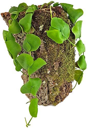Fangblatt - Dischidia platyphylla - seltene Urnenpflanze - exotische Aufsitzpflanze für den besonderen Flair