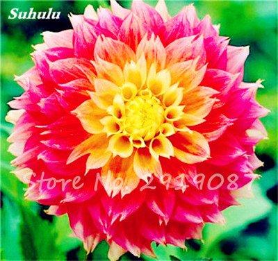 50 Pcs rares Graines Bonsai Dahlia (non Dahlia Bulbes) Mixte magnifique Fleurs chinois Balcon Plante en pot Maison et jardin 21