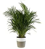 Costa Farms Areca Butterfly Palm Tree, Live Indoor Plant 2-Feet Tall, Ships Planter, Decor, 2-Foot, Fresh From Our Farm, Excellent Gift or Home Décor