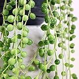 Zoom IMG-1 senecio rowleyanus pianta del rosario