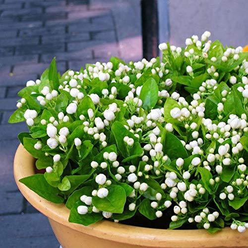 Oce180anYLVUK semi di gelsomino, 50 pezzi/borsa semi di gelsomino fiorente abbellente semi di fiori profumati aromatici bianchi per il giardinaggio Jasmine Seeds