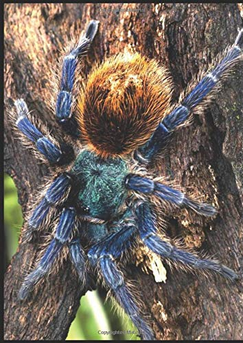 GBB  C. Cyaneopubescens Tarantula notebook: A4 lined notebook/journal 200 pages