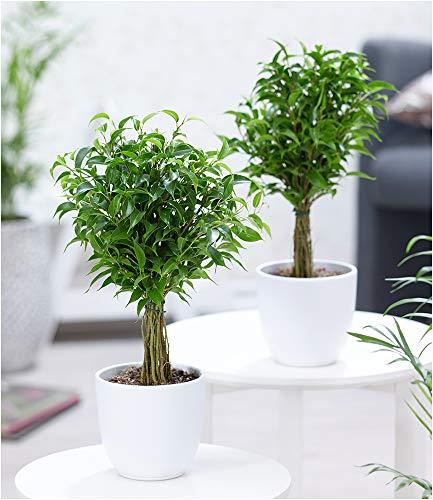 BALDUR-Garten Fikus Stämmchen Duo, 2 Pflanzen Birkenfeige Ficus Zimmerpflanze