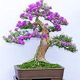 Beautytalk Jardin- Lilas d'été 'Flower Power' (Buddleja davidii) Arbustes à papillons multicolores Mélange de graines de fleurs pour balcon, plante vivace rustique