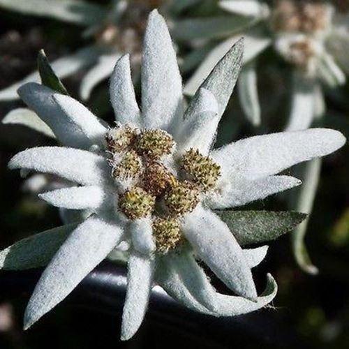 100 Samen Edelweiss Blumensamen (Leontopodium Alpinum)