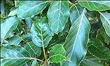 Torero Fresh Avocado Leaves - 3 oz (approx 30 to 50 leaves) - Pick Fresh, No Pesticides Sprays, Fresh from Florida. No Reimbursement or Return.