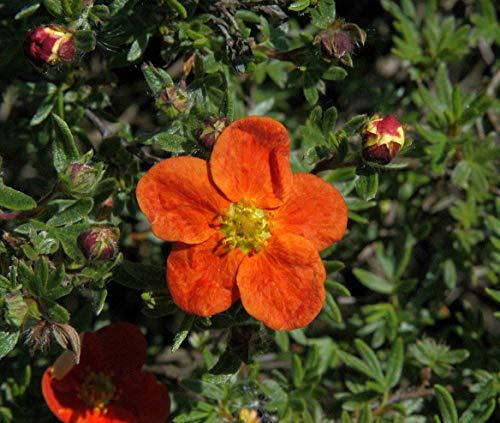 Potentilla 'rot' Gemeiner Fingerstrauch immergrüner Bodendecker mit roter Blüte im Topf gewachsen (10 Stück)