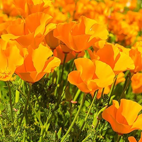 Acecoree Samen- Selten100 Stück Gartenmohn Samen Kalifornischer Mohnblumen winterhart mehrjährig Blumensamen für Balkon, Garten