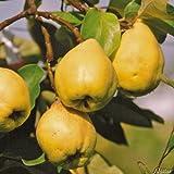 Birnenquitte Cydora-Robusta (Cydonia) - Quittenbaum Obst Baum Neuzüchtung - Quitten-Pflanze für den Garten - von Garten Schlüter - Pflanzen in Top Qualität