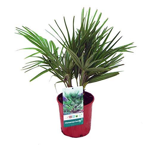 Planta de interior de Botanicly – Palmera Enana – Altura: 50 cm – Chamaerops Humilis