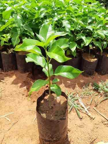Muda De Pau D'alho (planta Com Propriedades Medicinais)