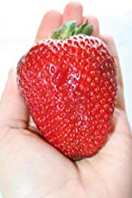 Bulk 500 + Seeds Strawberry Giant , Everbearing